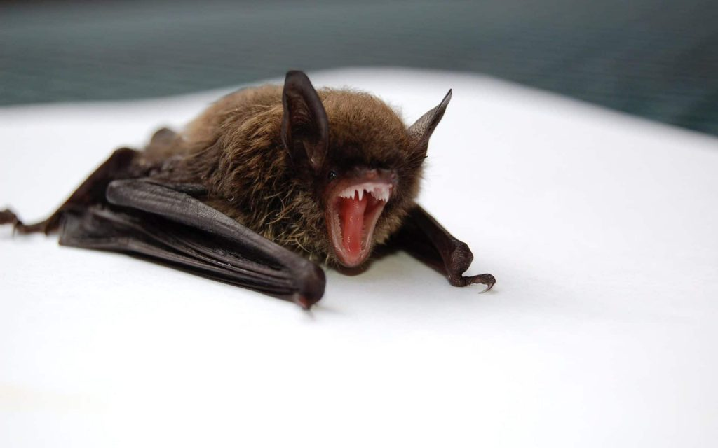 Cincinnati Bat Removal
